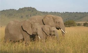 Two adult elephants with a baby in an African savanna