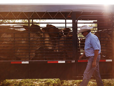 Ramirez walking past a cattle trailer
