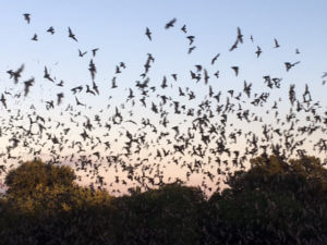A colony of bats flies against San Antonio sunset backdrop